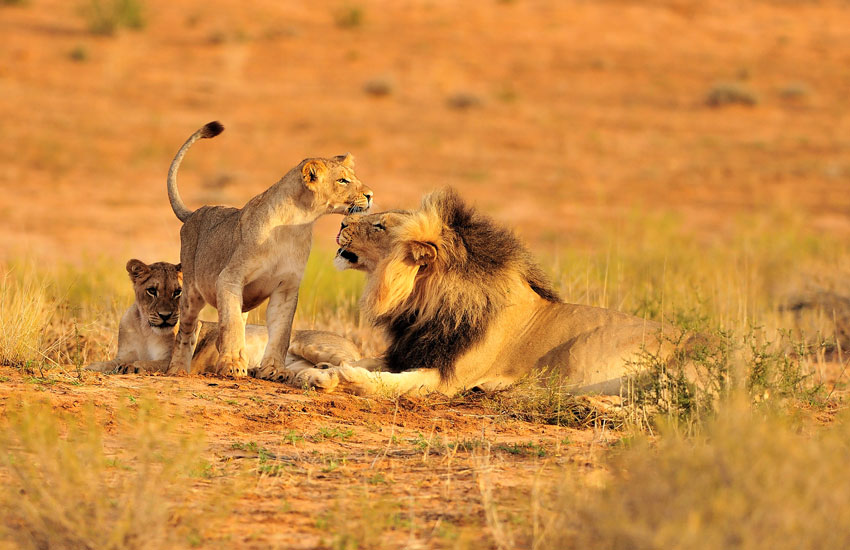 Ruaha-National-Park lions
