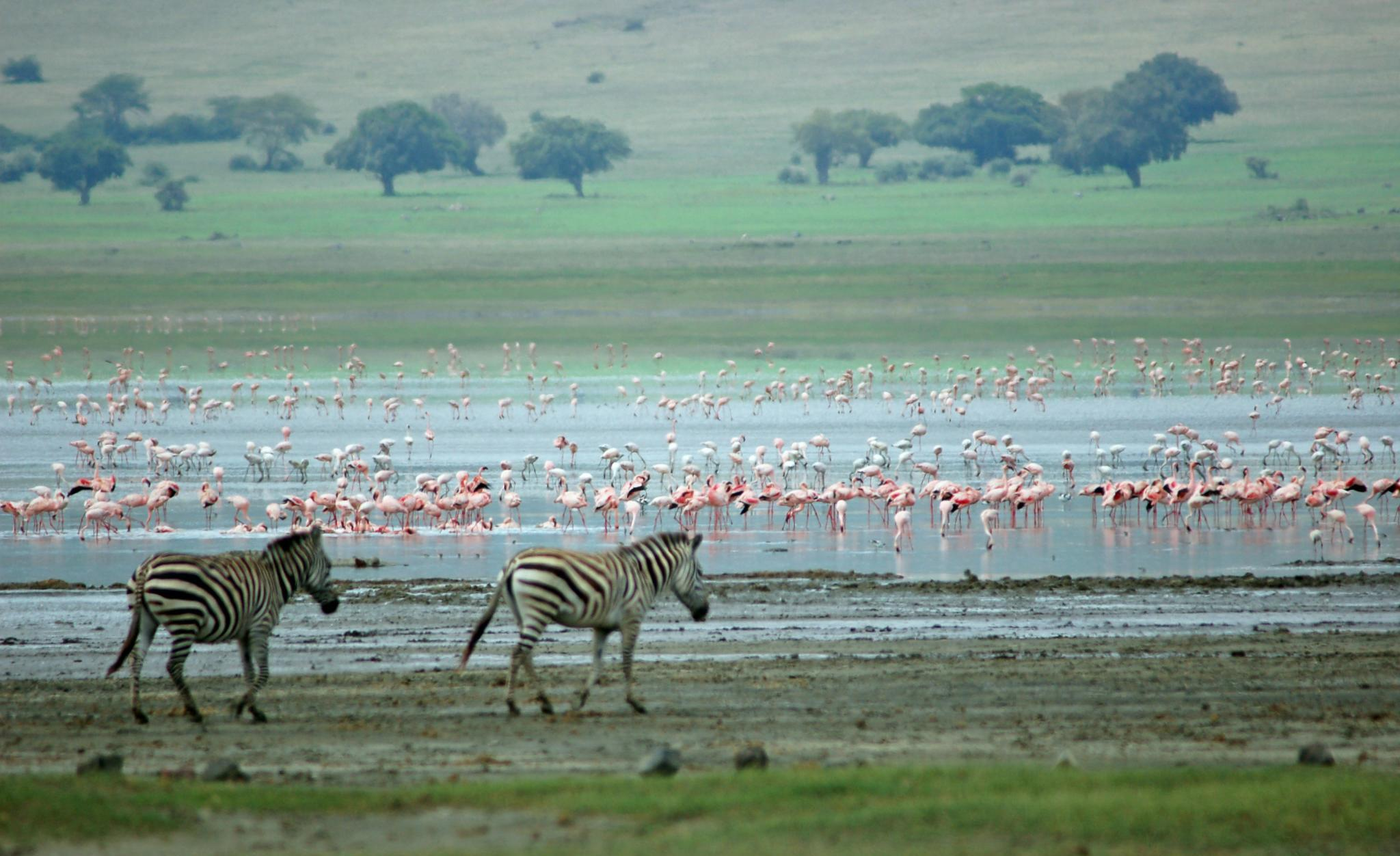 Zebras and Flamingos, lake manyara