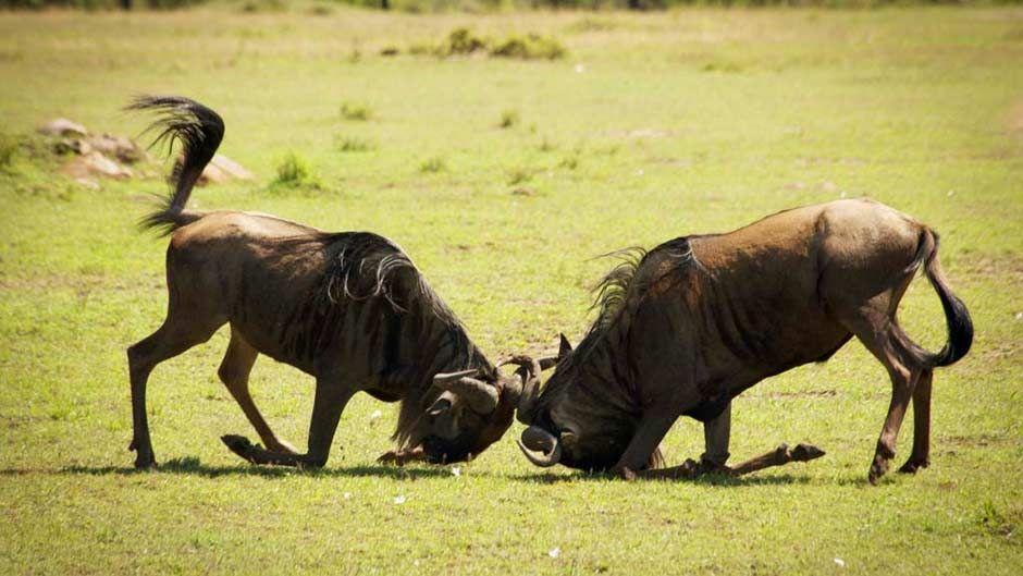serengeti-nomad-wildebeest-wrestling