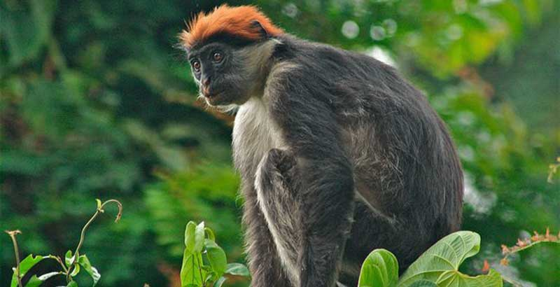 udzungwa-red-colobus