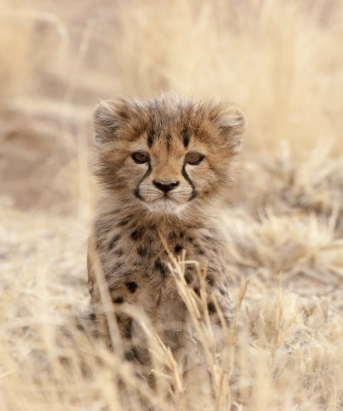 best-cheetah-cub-tanzania-northern-safari